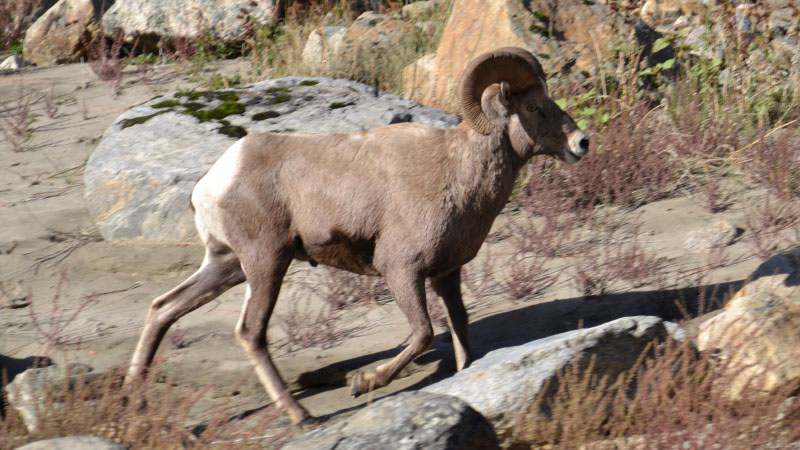 Big Horn Sheep on the Salmon River